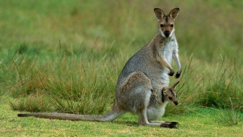 Kakve veze imaju klokani s nošenjem djece i klokanicama?